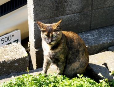 sumidarivercat1.jpg